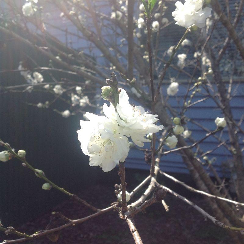 Flowering peach