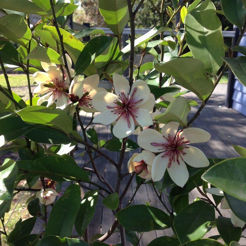 Fairy magnolias